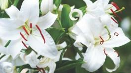 casa blanca lilies, white oriental lily