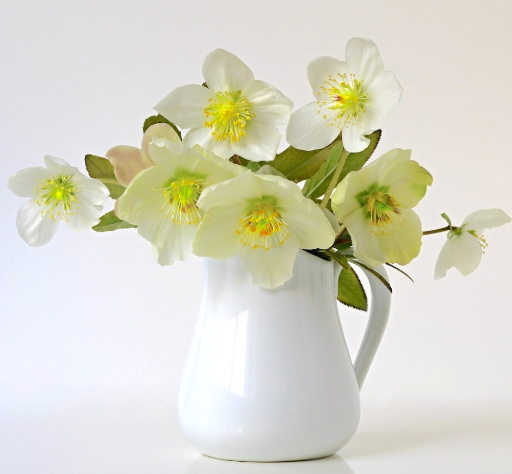 eborus Lenten Rose Care and Varieties - Flower Magazine on flower window, flower bouquet, flower container, flower tissue box cover, flower punch set, flower arrangements, flower pot, flower coloring pages, flower store, flower plant, flower sign, flower dinnerware set, flower decor, flower painting, flower trash can, flower gift, flower crystal, flower stand, flower basket, flower decoration,