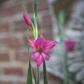 byzantine gladiolus flowers