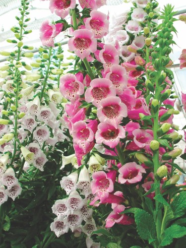 foxglove selections 'camelot rose'
