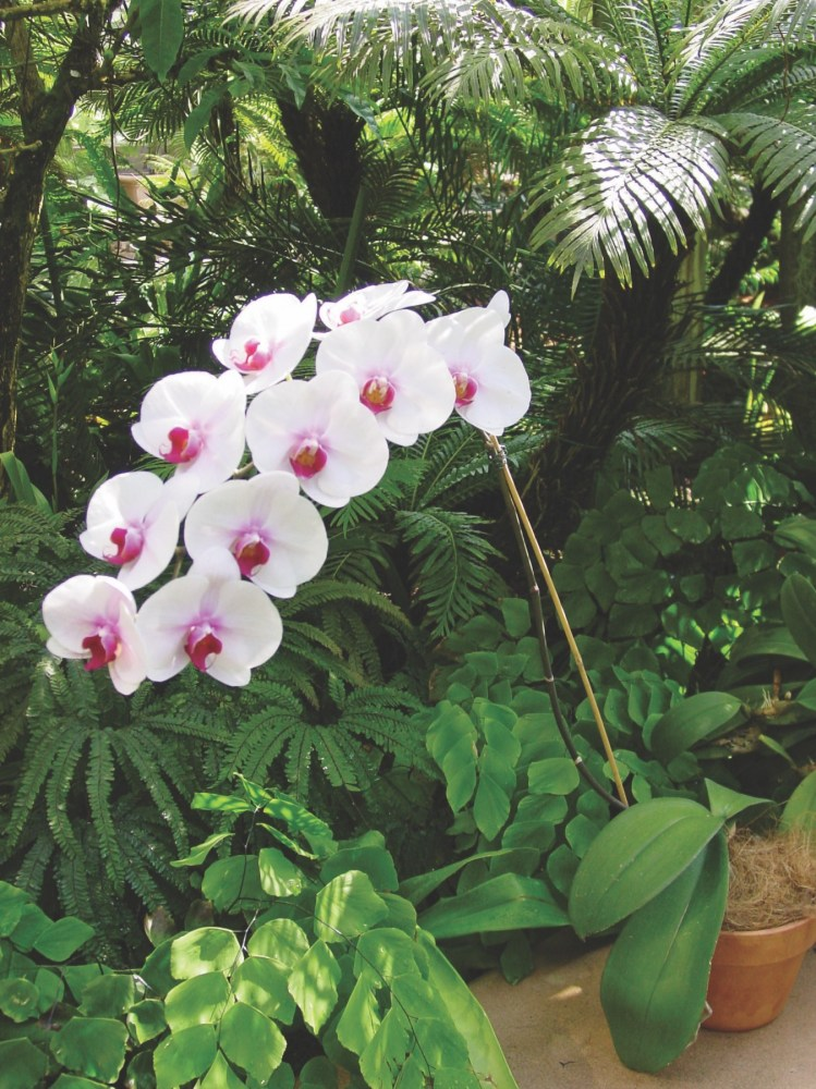 moth orchids, phaelenopsis, care of orchids, growing orchids at home