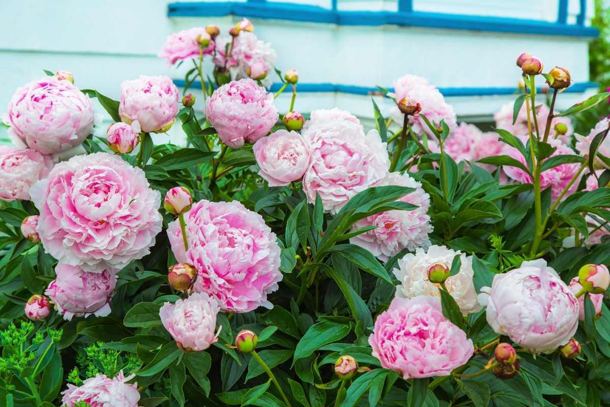 There S Just Something About Peonies Flower Magazine