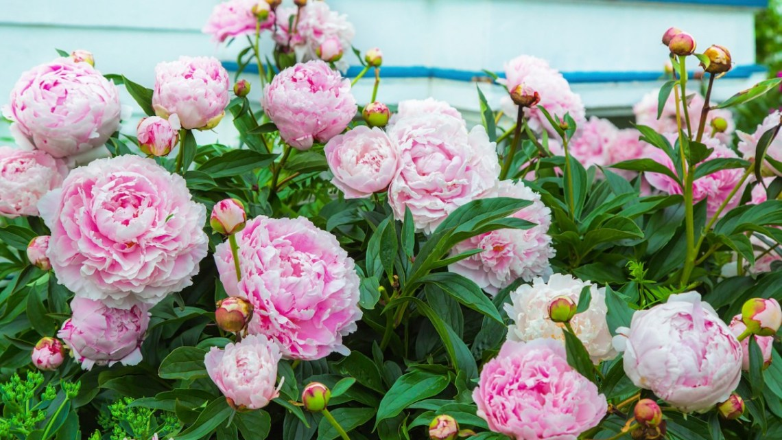 something about peonies