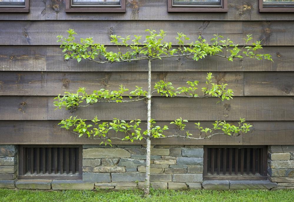 espalier fruit trees, espalier pear tree