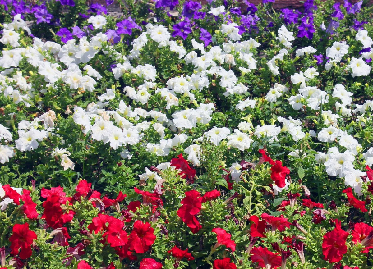 Red White And Blue Flower Garden Planting A Flower Bed Flower
