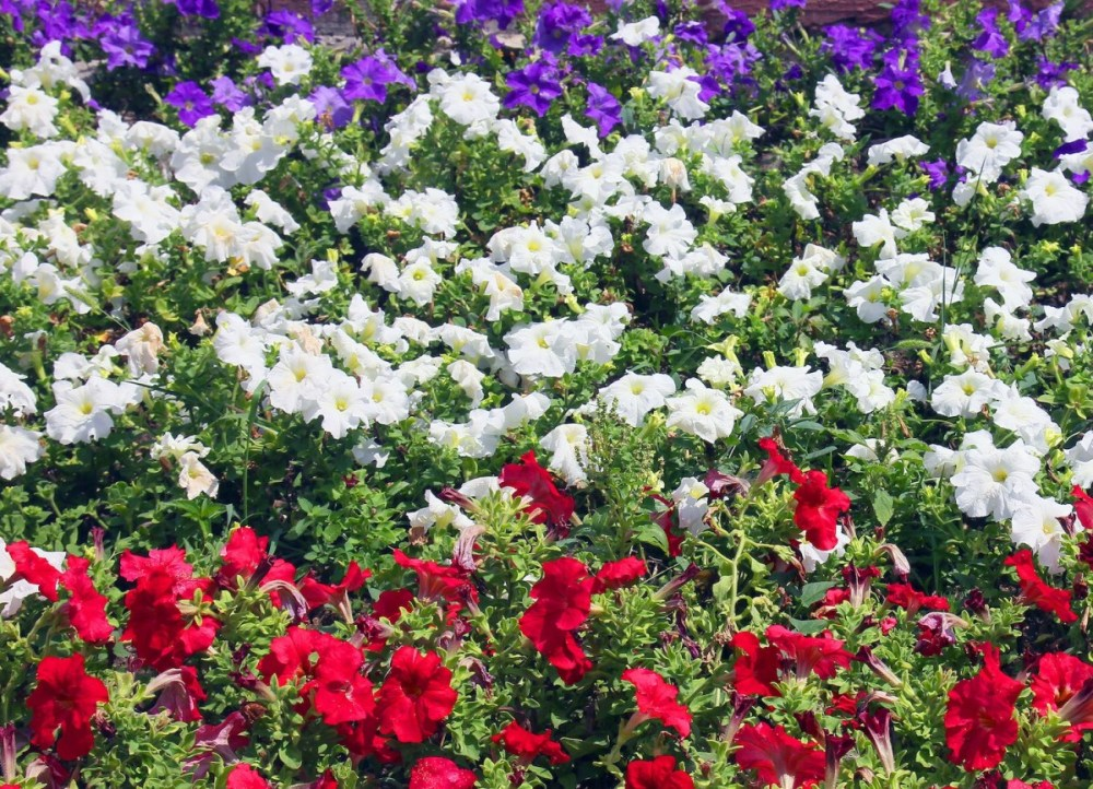 Red White and Blue Flower Garden & Planting a Flower Bed - Flower ...
