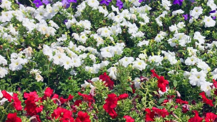 red white and blue flower garden