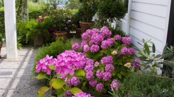 hydrangea varieties, moss mountain farm