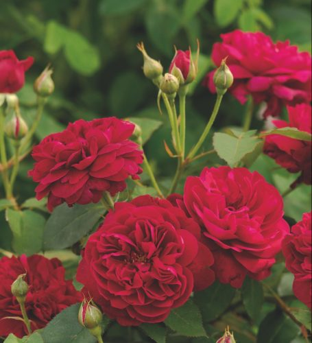 Darcey Bussell rose, David Austin roses