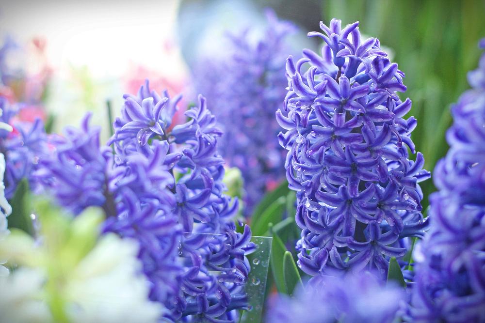 fragrant garden plants
