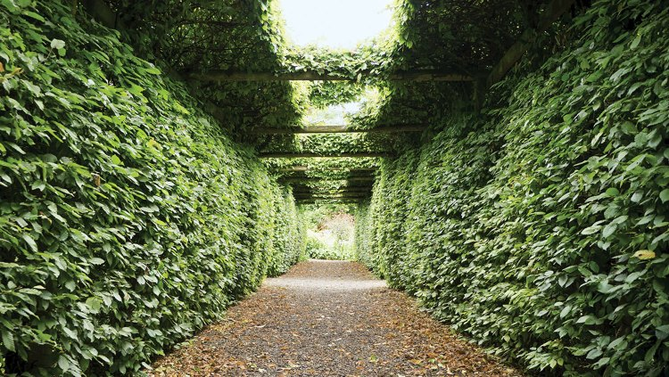 Photo from Arthur Shackleton's own garden at Fruitlawn, showing a path lined on either side by high walls of densely planted hornbeam, which also grows over beams above, forming a tunnel