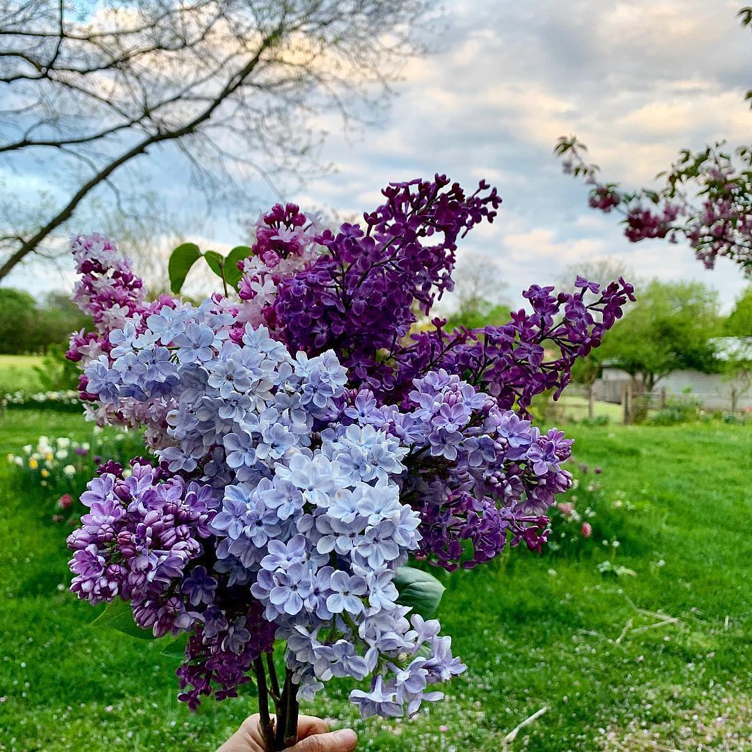 Now Lilacs Are Blooming In March >> 7 Things To Know About Lilac Bushes