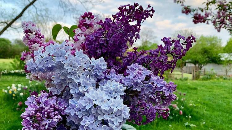 Bouquet of lilacs of varying colors including light blue, purple and a combination of white and pink