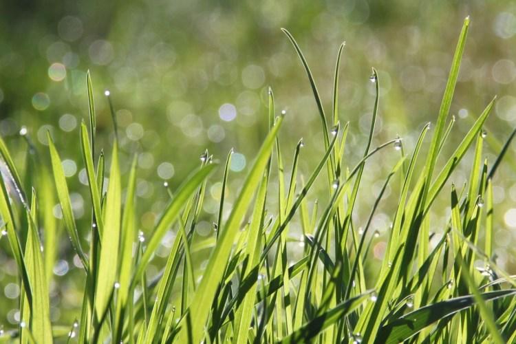 dew on healthy grass