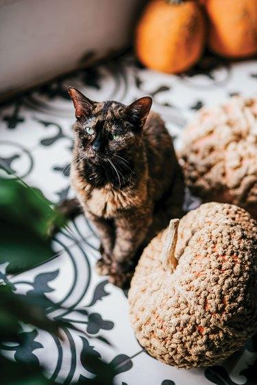 tortoise shell cat