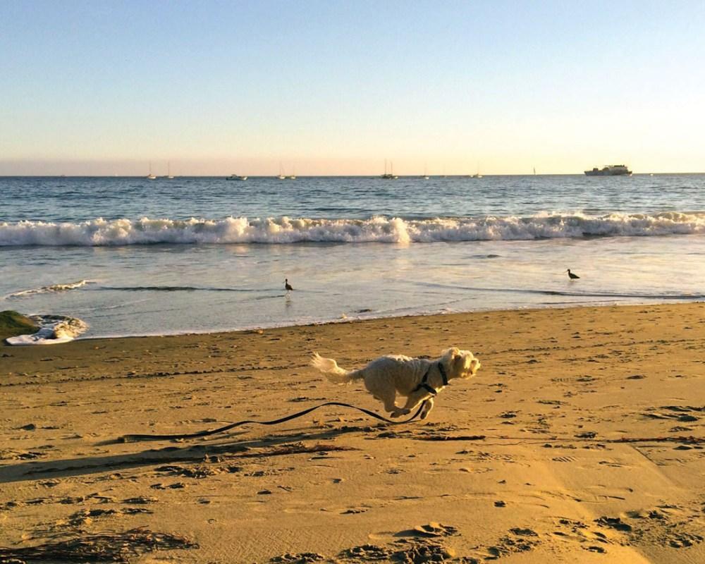 Small white dog chases birds at sunset at Summerland Beach, Santa Barbara