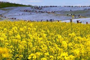 【一個人旅行】茨城賞花🌺青の樂園~國營常陸海濱公園 夢幻靛藍花海美呆了
