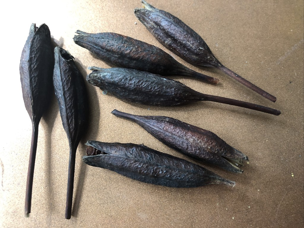 daylily seed head pods