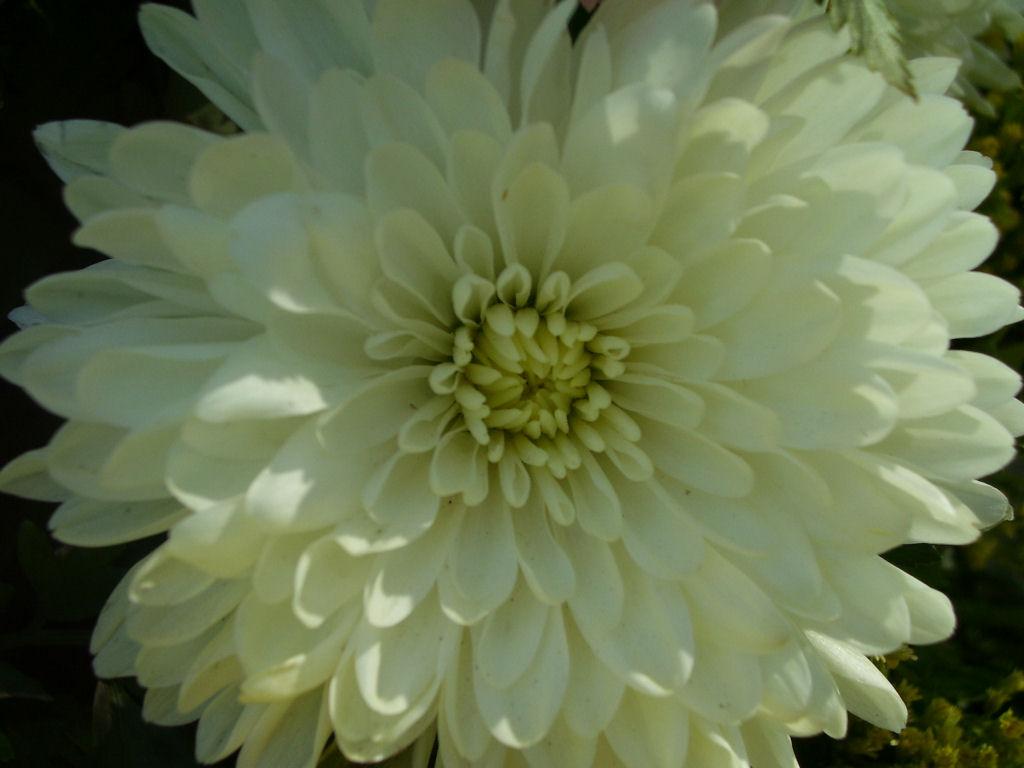 Fall Daisy Wallpaper Flower Photography Mums