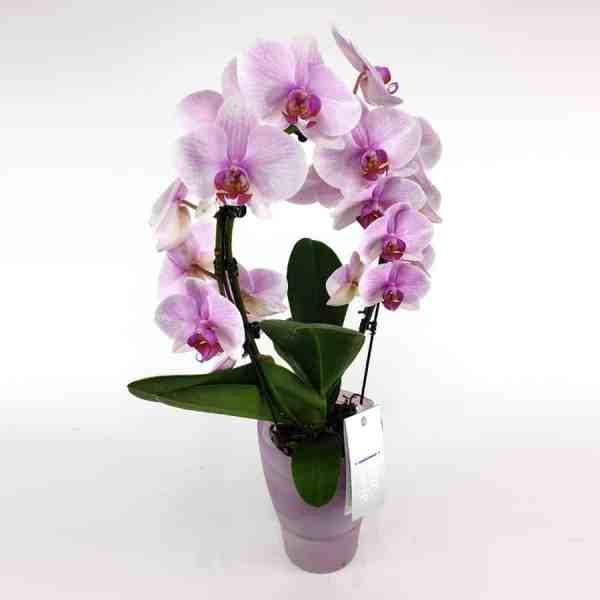 Phalaenopsis Bogen