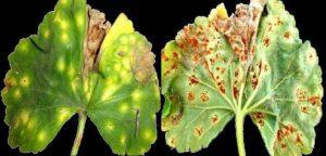Ржавчина листьев у пеларгонии