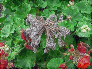 Cetakan abu-abu pada pelargonium