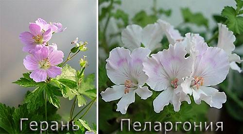 Persamaan dan perbedaan Gerania dan Pelargonium