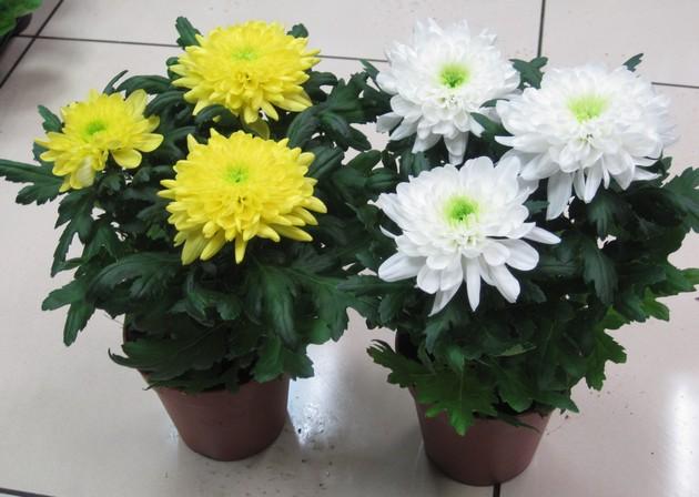 Почему сохнут листья у хризантемы садовой. Комнатные хризантемы