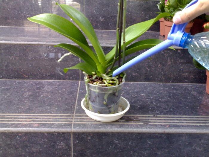 Tưới hoa lan faleenopsis.