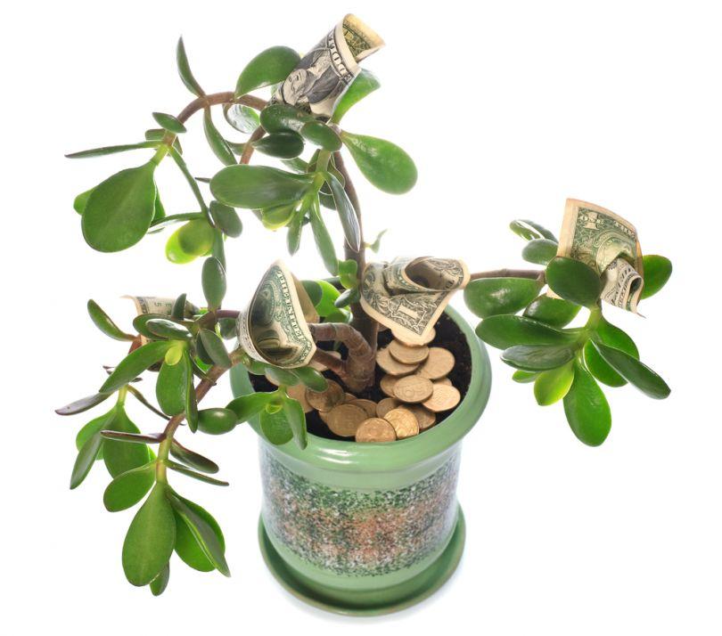 Денежное дерево способствует финансовому благополучию