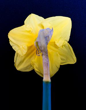 Daffodil - back