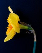 Daffodil - side