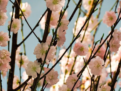 Pale pink cherry blossoms.
