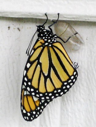 Monarch butterfly climbing out of chrysalis