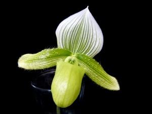 Paphiopedilum-Lady-Slipper-Orchid-Green.jpg