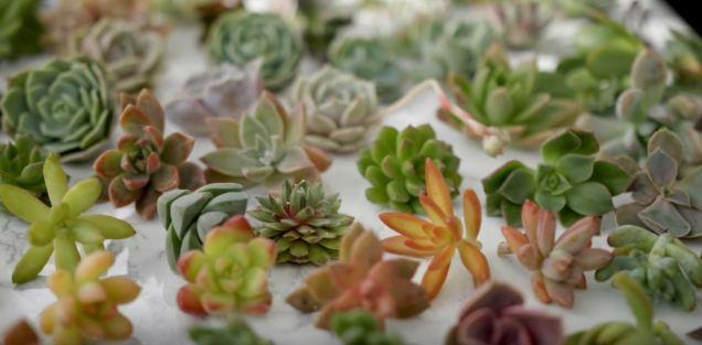 large succulent plants