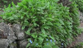 perennial ground cover