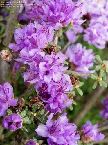 miniature azaleas