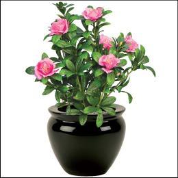 pink azalea bush