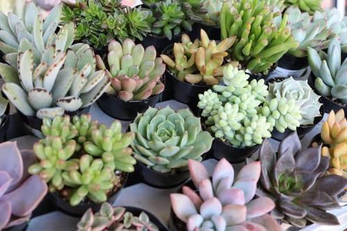 succulent plants for sale