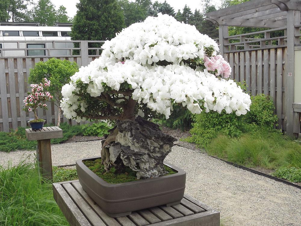 azalea-bonsai-tree