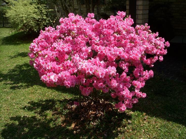 azalea-bushes-care