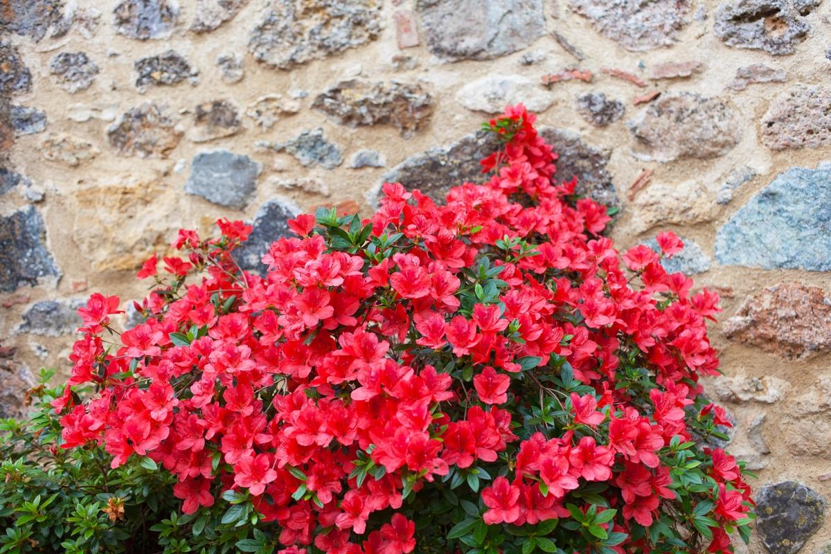 azalea-pruning