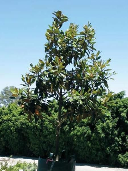 buy-a-magnolia-tree