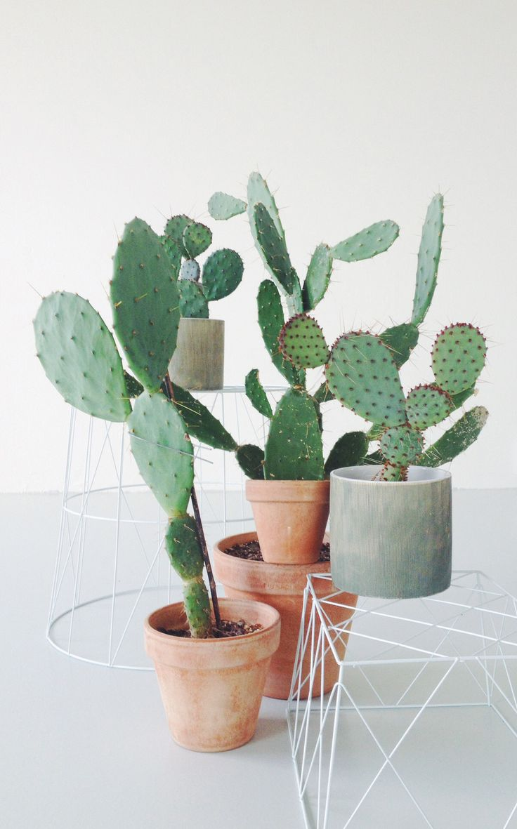 cactus-mini-plants