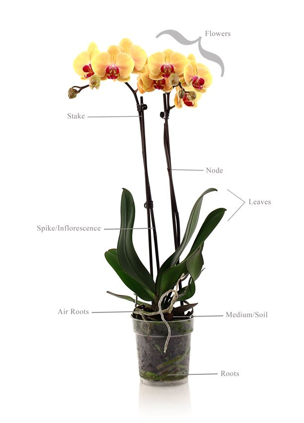 caring-for-indoor-orchids