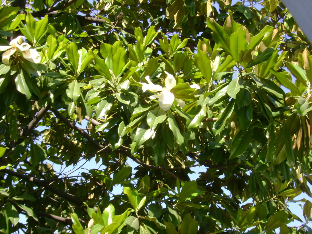 different-kinds-of-magnolia-trees