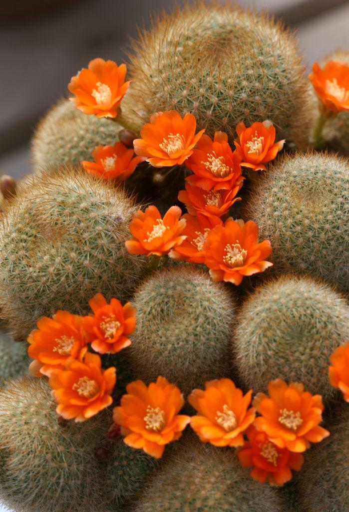 flowering-succulent