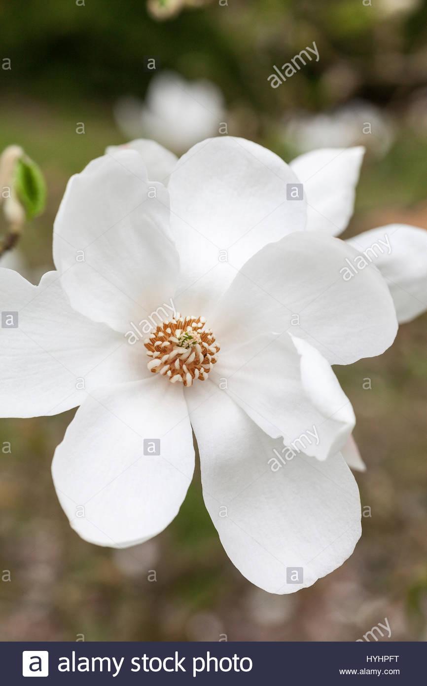 japaneese-magnolia