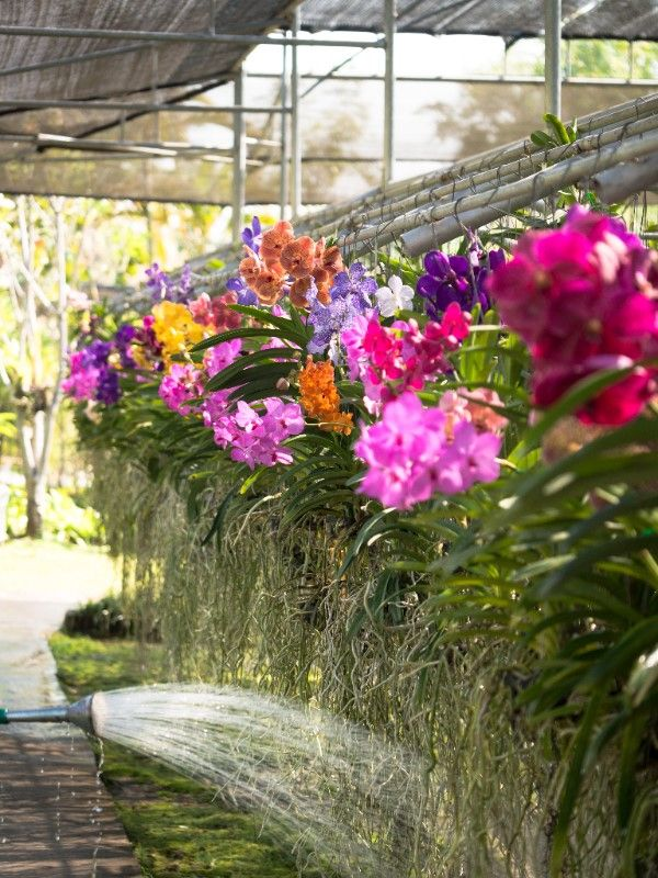 orchids-care-and-maintenance